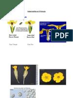 Heterostilia en Prímula