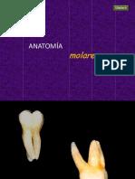 ANATOMÍA-MOLARES1