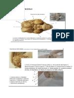 Anatomía y Fisiología Del Encéfalo