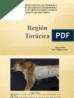 Region Toracica
