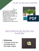 Deficiencia de Ca en Las Plantas