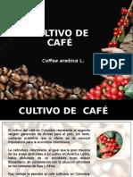 Cultivo de Cafe