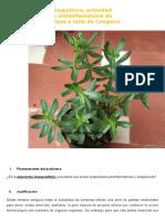 La Piperomia Inaequalifolia