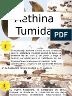 aethina tumida