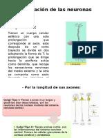 Clasificación-de-las-neuronas.pptx
