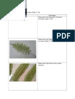 Lampiran Alifa - Dryopteris Microlepis