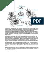 Sistem Reproduksi Pinus