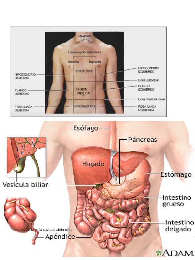 Excepcional Anatomía De La Cavidad Peritoneal Patrón - Anatomía de ...