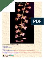 Acriopsis liliiflolia
