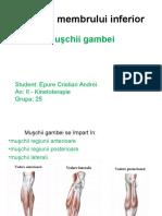 Muşchii Membrului Inferior - Epure