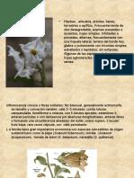 Solanaceae (3)