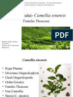 Planta Ceaiului- Camellia Sinensis