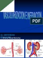 RIÑON (Vascularización e Inervación)