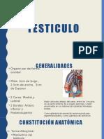 Anatomia:Testiculos