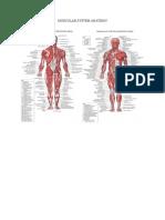 Muscular System Anatomy