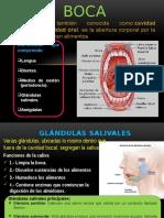 Anatomia Boca