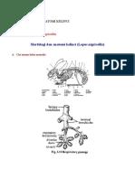 Morfologi Dan Anatomi Kelinci