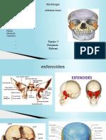 expocicion huesos faciales