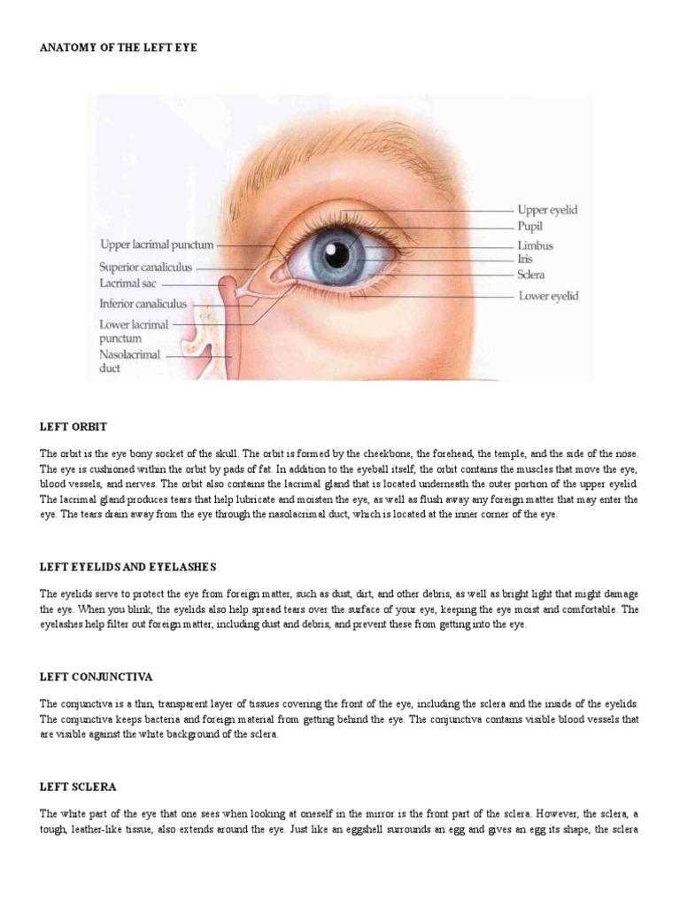 Anatomy of the Left Eye | Retina | Cornea