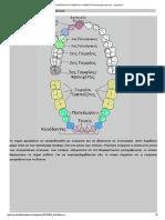 Η ΑΠΟΚΑΛΥΨΗ ΤΟΥ ΕΝΑΤΟΥ ΚΥΜΑΤΟΣ_ Αντιστοιχία Δοντιών - Οργάνων