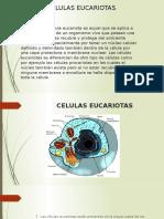 CELULAS EUCARIOTAS (1)