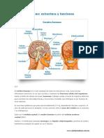 Cerebro Humano-esctructura y Funciones