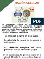 Mitocondrias y Respiración Celular
