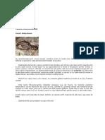 Ambystoma Tigrinum (Salamandra Tigru)