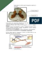 Prueba de Neuroanatomía ya respondida segundo semestre.doc