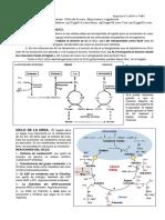 CICLO UREA.pdf