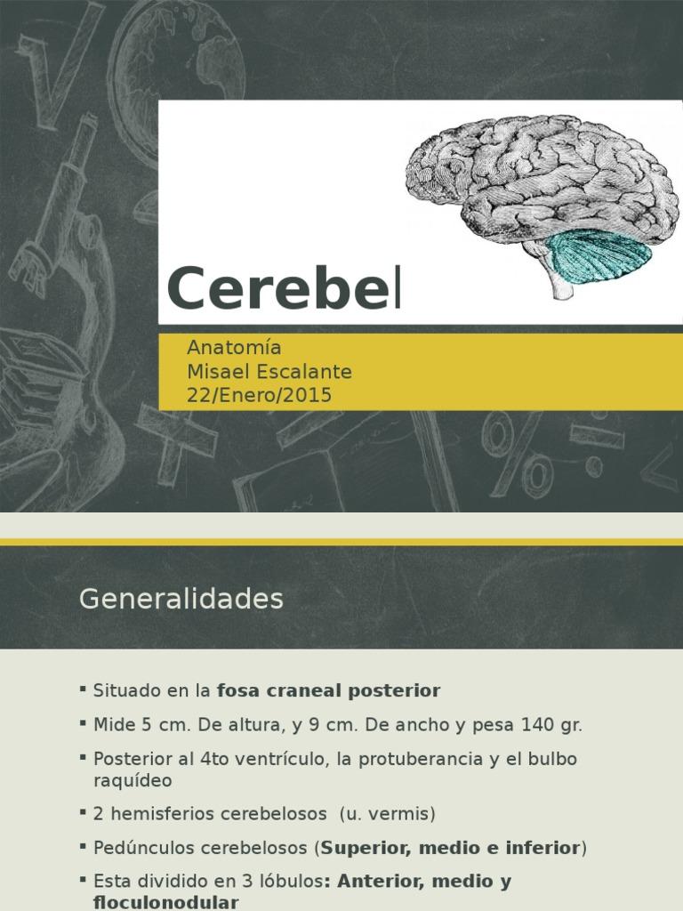 Anatomia estructural del cerebelo