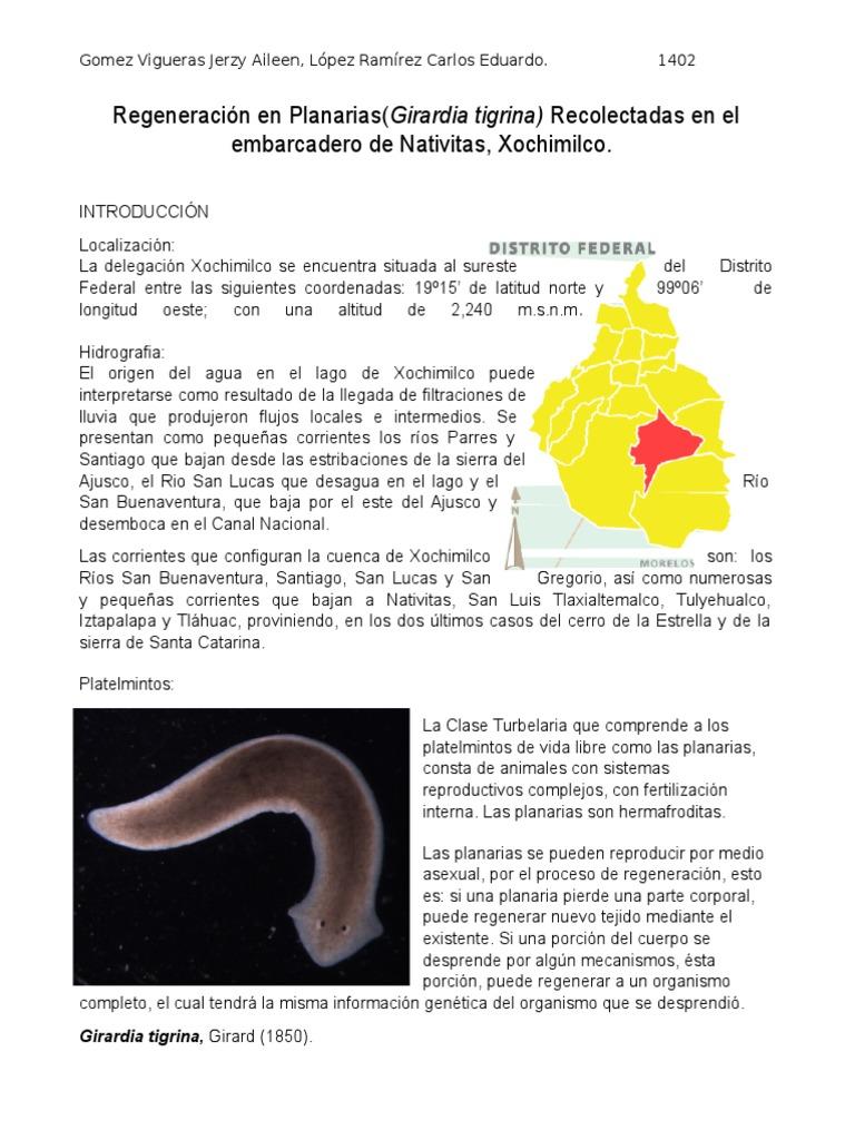 Fantástico Anatomía De La Planaria Imágenes - Anatomía de Las ...
