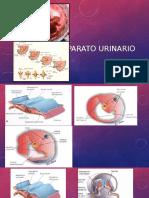 Aparato_urinario- EMBRIOLOGIA