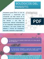 Ciclo Bológicos Del Toxoplasma