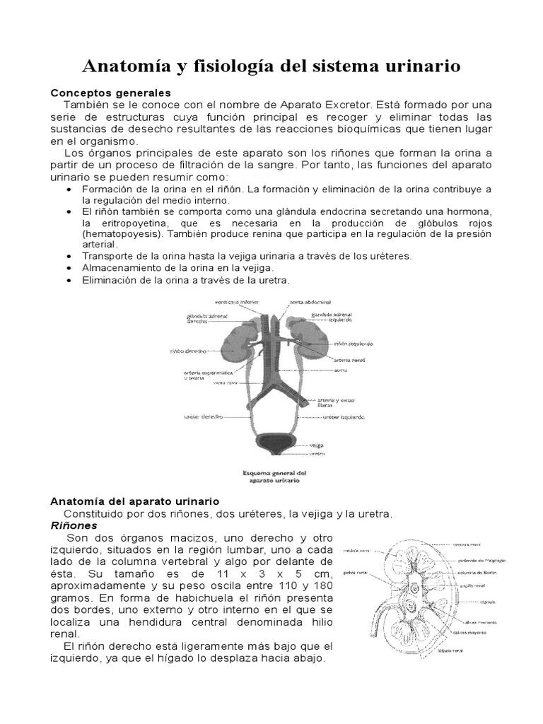 Anatomía y fisiología del sistema urinario.docx