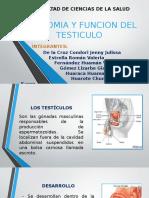 Anatomía y función del testiculo