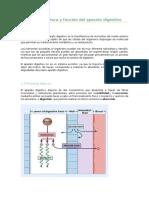 Estructura y función del aparato digestivo