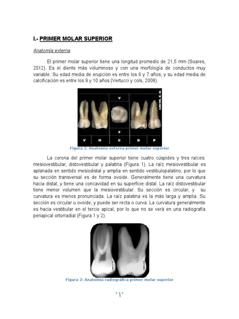 Anatomia de Molares - Final