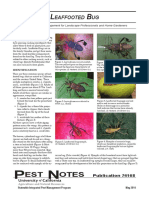 Insecto mirador (Leptoglosus Occidentalis)