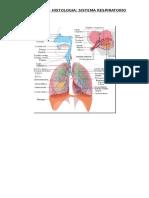 Histología de  Respiratorio