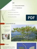 Croton Draco y Calycophyllum Candidissimum