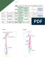 criedingermusclesupperlimb-120102095217-phpapp02