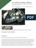 Lophophora Diffusa Subsp Diffusa