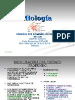 7.-Miología