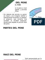 desviacion del pene.pptx