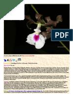 Encyclia cordigera