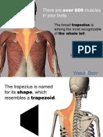 VB Trapezius 030714