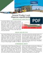 Oriental Weather Loach