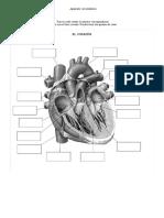 Preguntas Aparato Circulatorio 1