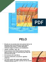 1.1-FOLICULOS.ppt